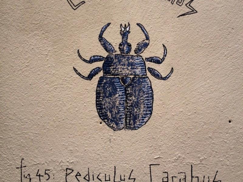 Pediculus Carabus