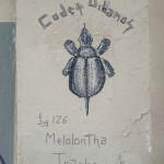 Melolontha Trachemys