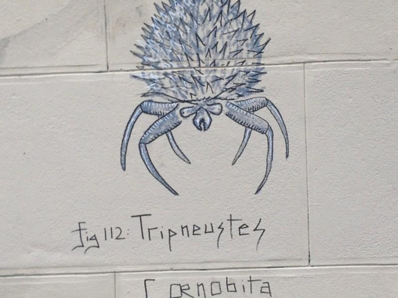 Tripneustes Cœnobita