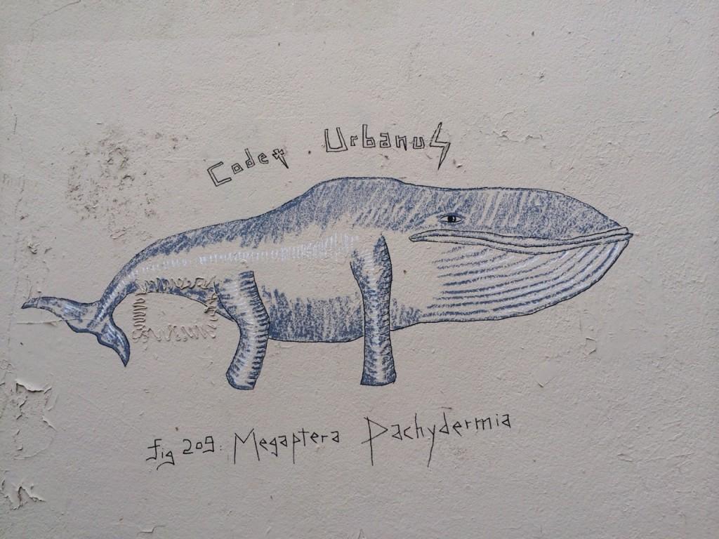 Megaptera Pachydermia