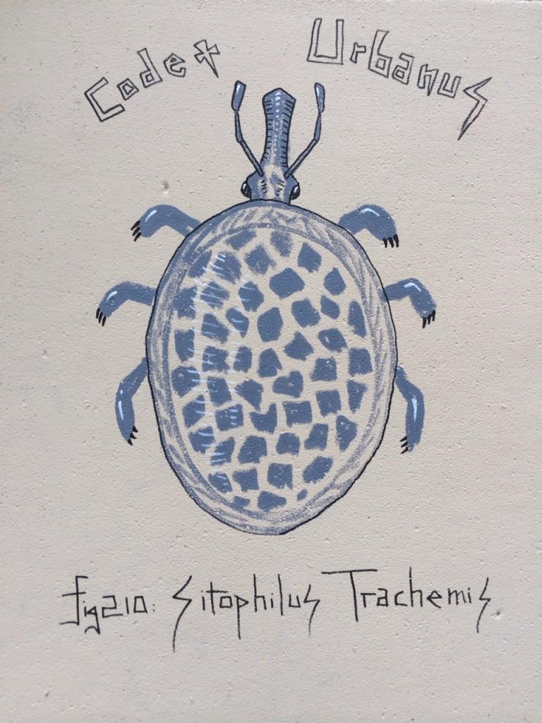 Sitophilus Trachemis