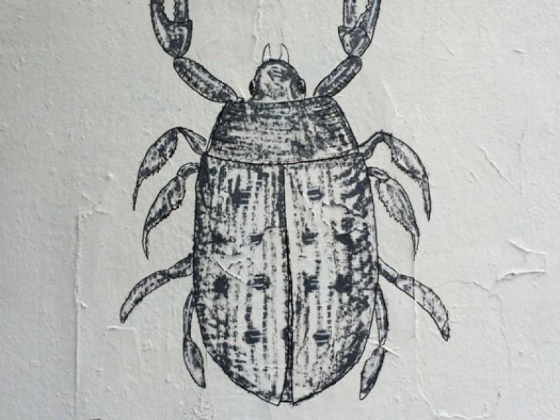 Coccinella Maja