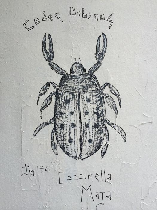 Coccinella Maja (2)