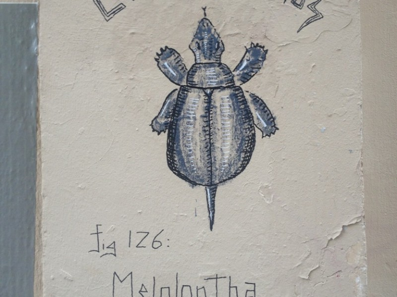 Melolotha Trachemys